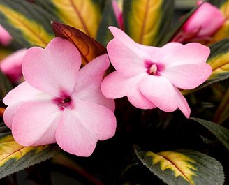 Бальзамин - 'Painted Paradise Pink' New Guinea impatiens