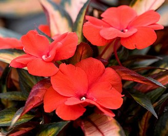 Бальзамин - 'Painted Paradise Red' New Guinea impatiens