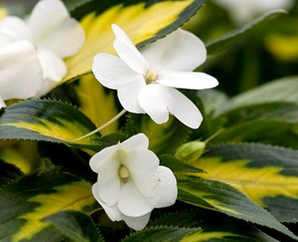 Бальзамин - 'Painted Paradise White' New Guinea impatiens