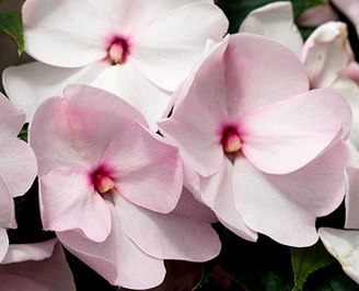 Бальзамин - 'Celebration Blush Pink' New Guinea impatiens