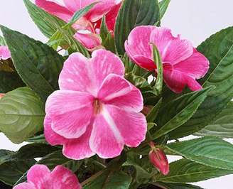 Бальзамин - 'Sonic Magic Pink' New Guinea impatiens