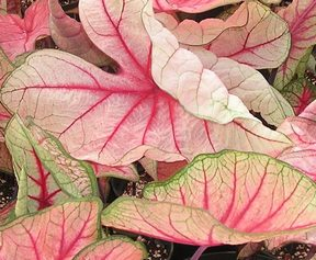 Каладиум 'White Queen' - Caladium 'White Queen'