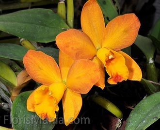 Cattleya Beaufort Gold