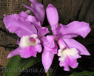 Cattleya skinneri x warneri