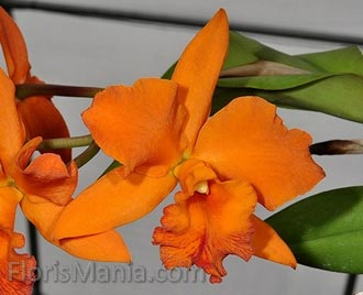 Cattleya specimen orange