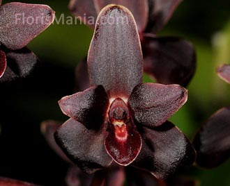 Cymbidium Little Black Sambo