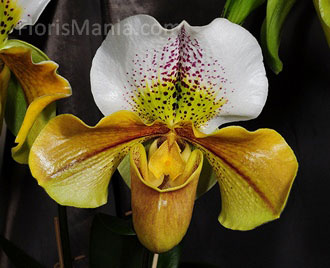 Paphiopedilum Golden Acres x Senator